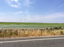 Rice fields, Sacramento Valley